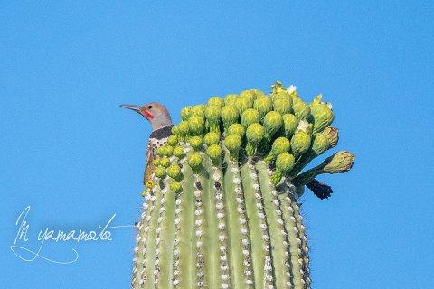 1_Gila-Woodpecker-1-s