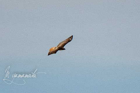 1_Red-tailed-Hawk-2-s