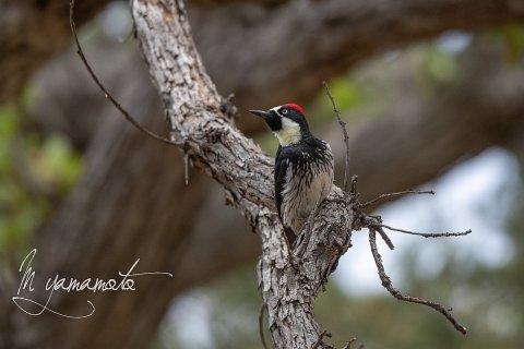 Acorn-Woodpecker-4-s