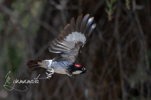 Acorn-Woodpecker-6-s