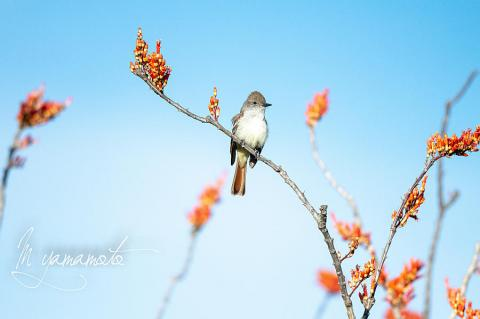 Ash-throated-Flycatcher-7-s
