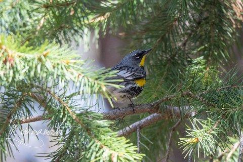 Audubons-warbler-9-s