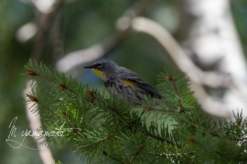 Audubons-warbler-s