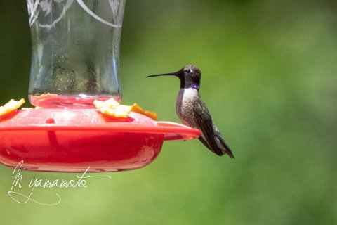 Black-chinned-Hummingbird-1-s