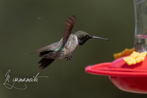 Black-chinned-Hummingbird-2-s