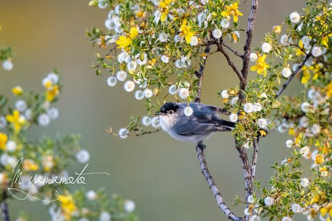 Black-tailed-Gnatcatcher-7-s