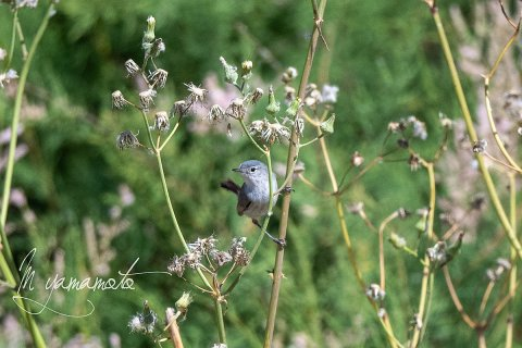 Blue-gray-Gnatcatcher-1-s