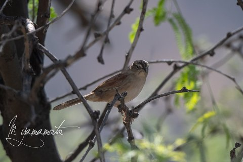 Botteris-sparrow-1-s