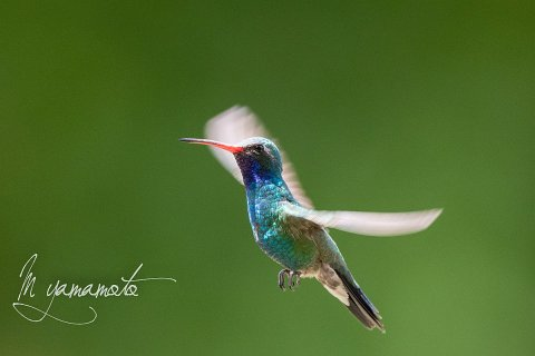 Broad-billed-Hummingbird-15-s