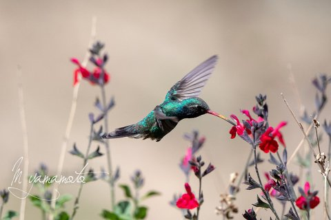 Broad-billed-Hummingbird-2-s