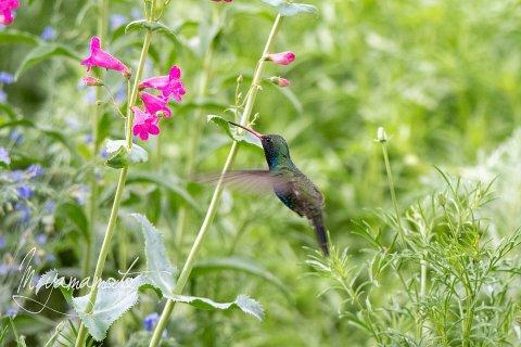 Broad-billed-Hummingbird-5-s