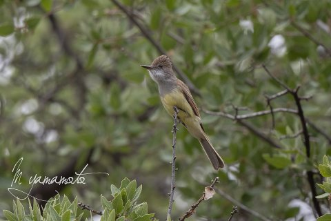 Brown-crested-Flycatcher-6-s
