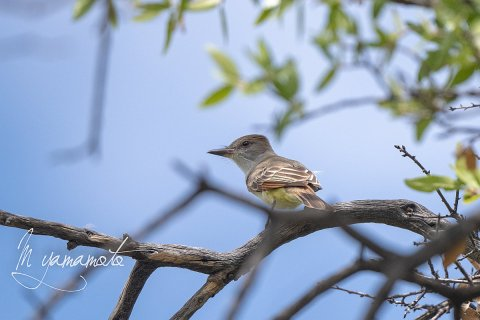 Brown-crested-Flycatcher-7-s