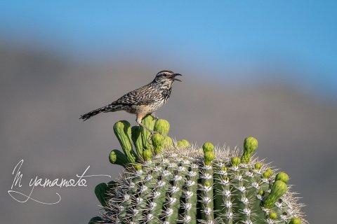 Cactus-Wren-2-s