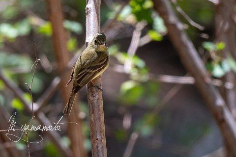 Cordilleran-Flycatcher-3-s