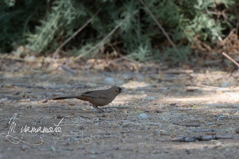 Dark-eyed-Junco-2-s