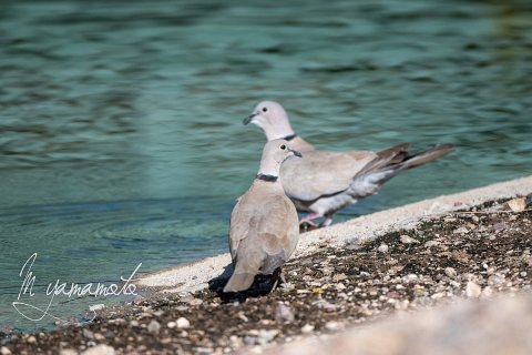 Eurasian-Collared-Dove-s