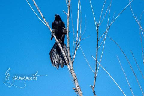 Great-tailed-Grackle-3-s