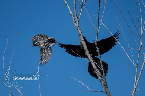 Great-tailed-Grackle-Ladder-backed-woodpecker-s