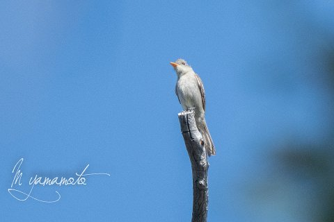 Greater-Pewee-1-s