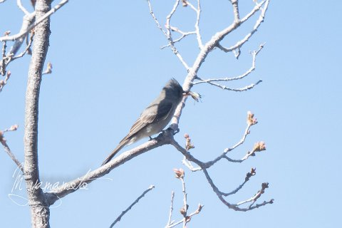 Greater-Pewee-3-s