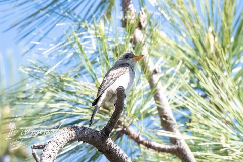 Greater-Pewee-6-s