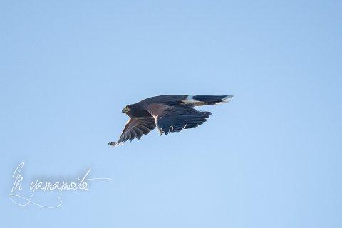 Harriss-Hawk-3-s