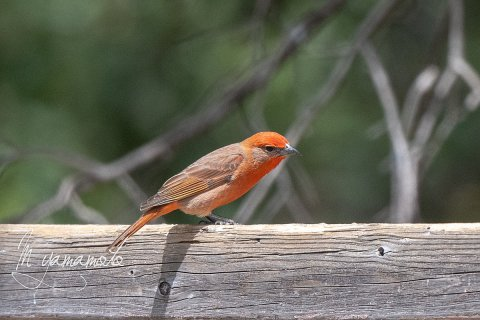 Hepatic-Tanager-1-s