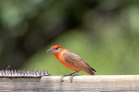 Hepatic-Tanager-2-s
