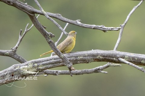 Hepatic-Tanager-4-s