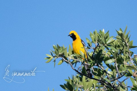 Hooded-Oriole-2-s