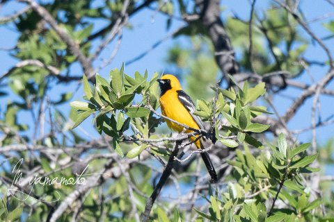 Hooded-Oriole-3-s