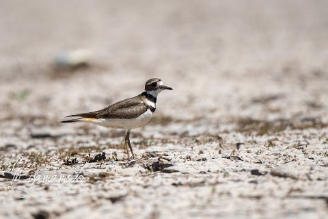 Killdeer-2-s