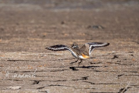 Killdeer-3-s