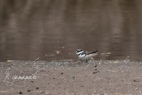 Killdeer-4-s