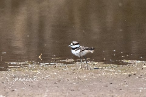 Killdeer-5-s