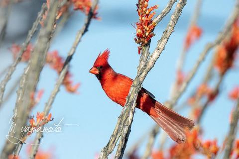 Northern-Cardinal-1-s