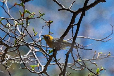Olive-Warbler-12-s