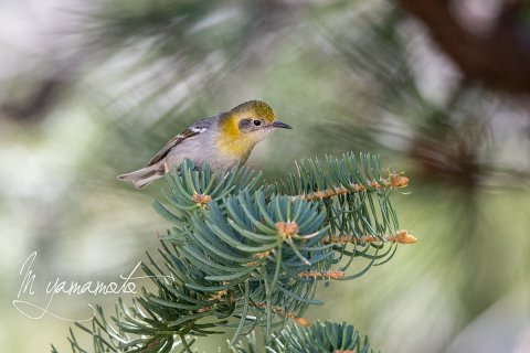 Olive-Warbler-3-s