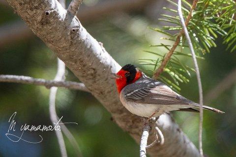 Red-faced-Warbler-5-s