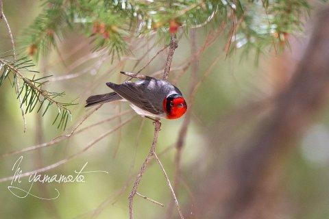 Red-faced-Warbler-9-s