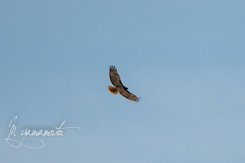 Red-tailed-Hawk-1-s