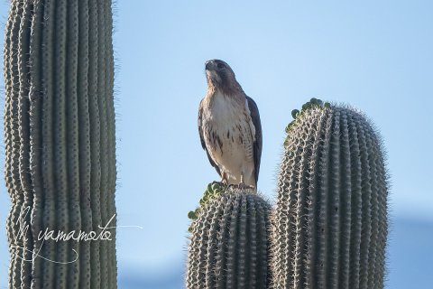 Red-tailed-Hawk-2-s