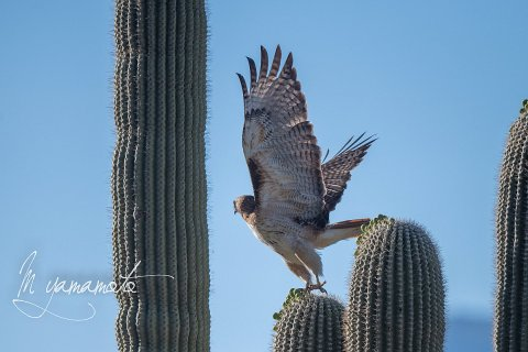 Red-tailed-Hawk-s