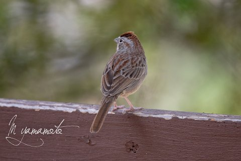 Rufous-crowned-Sparrow-1-s