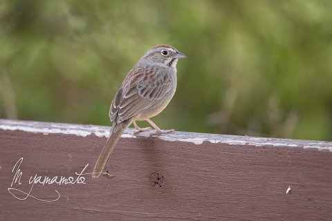 Rufous-crowned-Sparrow-2-s