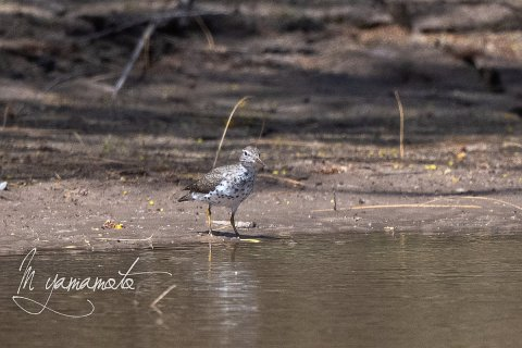 Spotted-Sandpiper-2-s