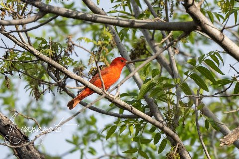 Summer-Tanager-1-s