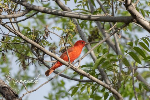 Summer-Tanager-2-s