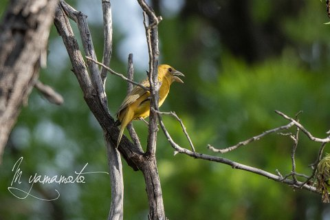 Summer-Tanager-3-s